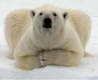 génocide ours blanc